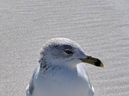 gullfriend3